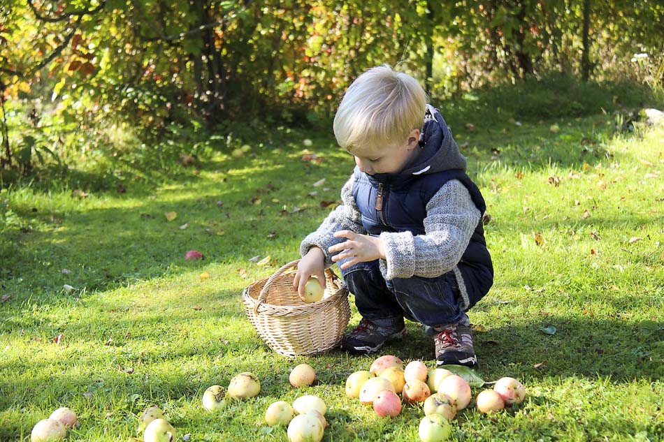 a little boy picking apples at fall